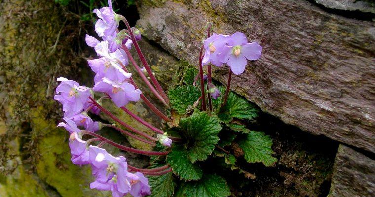 Natalijina ramonda – čudesni cvet feniks