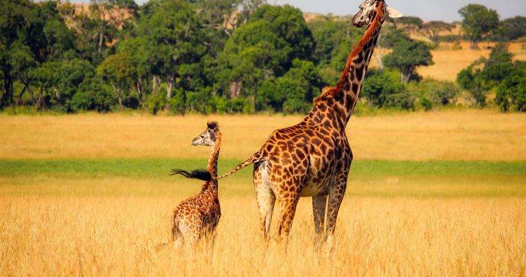 Žirafe na korak od svrstavanja među ugrožene vrste
