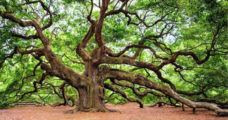Hrast, car među drvećem